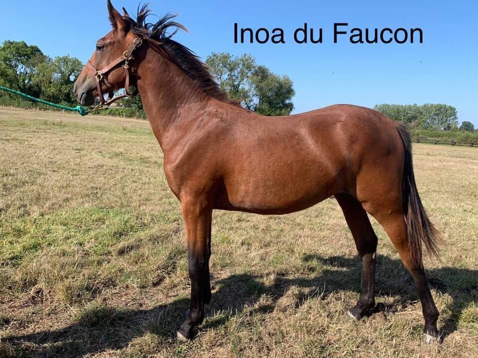 Inoa du Faucon